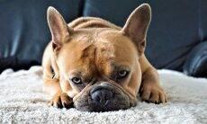 Saiba a maneira correta de limpar as orelhas do seu cão