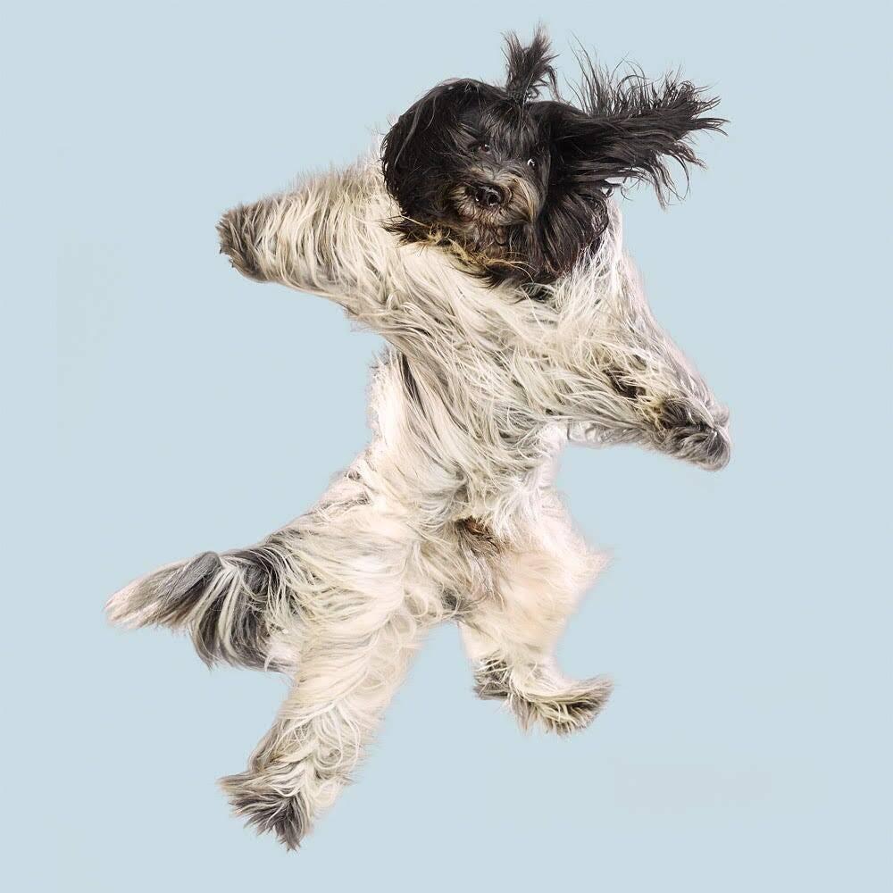 Cão voando