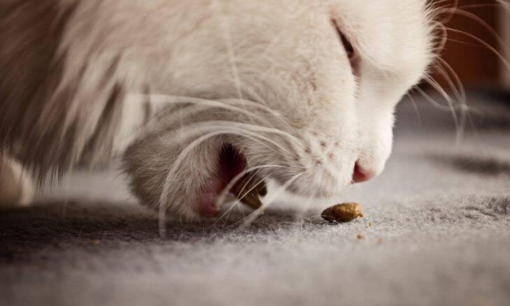 O que é melhor para o seu gato: ração seca ou úmida?
