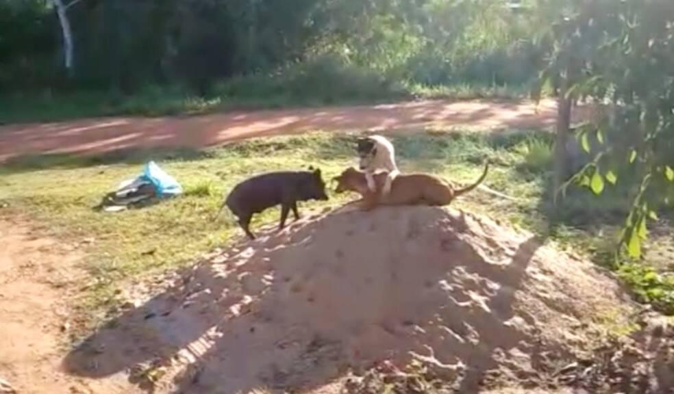 Porco que se comporta como cachorro ganha novo lar no Mato Grosso do Sul