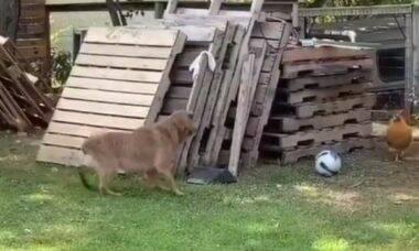 Vídeo: cão brinca de pega-pega com galinha e encanta a internet