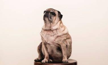 Saiba como fazer o seu cão perder peso e evitar a artrite