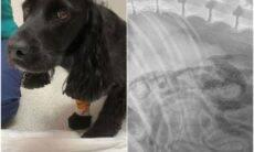 Cão engole máscara descartável durante passeio e para no hospital