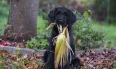Quais vegetais meu cão pode comer sem riscos para a saúde?