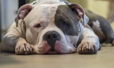 Novo medicamento promete alívio a cães que sofrem com dores crônicas