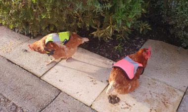 Para evitar fuga de suas galinhas de estimação, dono compra coletes fluorescentes