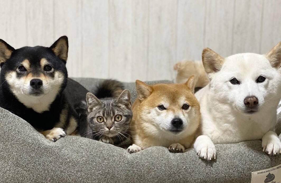 Fofura: gatinho é aceito como irmão por três cães da raça shiba inu
