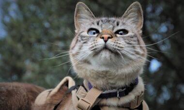 Com treino e paciência, você pode passear com seu gato usando guia e coleira
