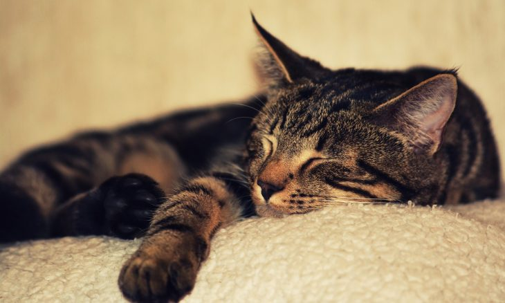 Gatos dormem em qualquer canto, mas têm um preferido; confira qual