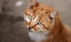 Por que os gatos alaranjados são tão especiais? A ciência responde