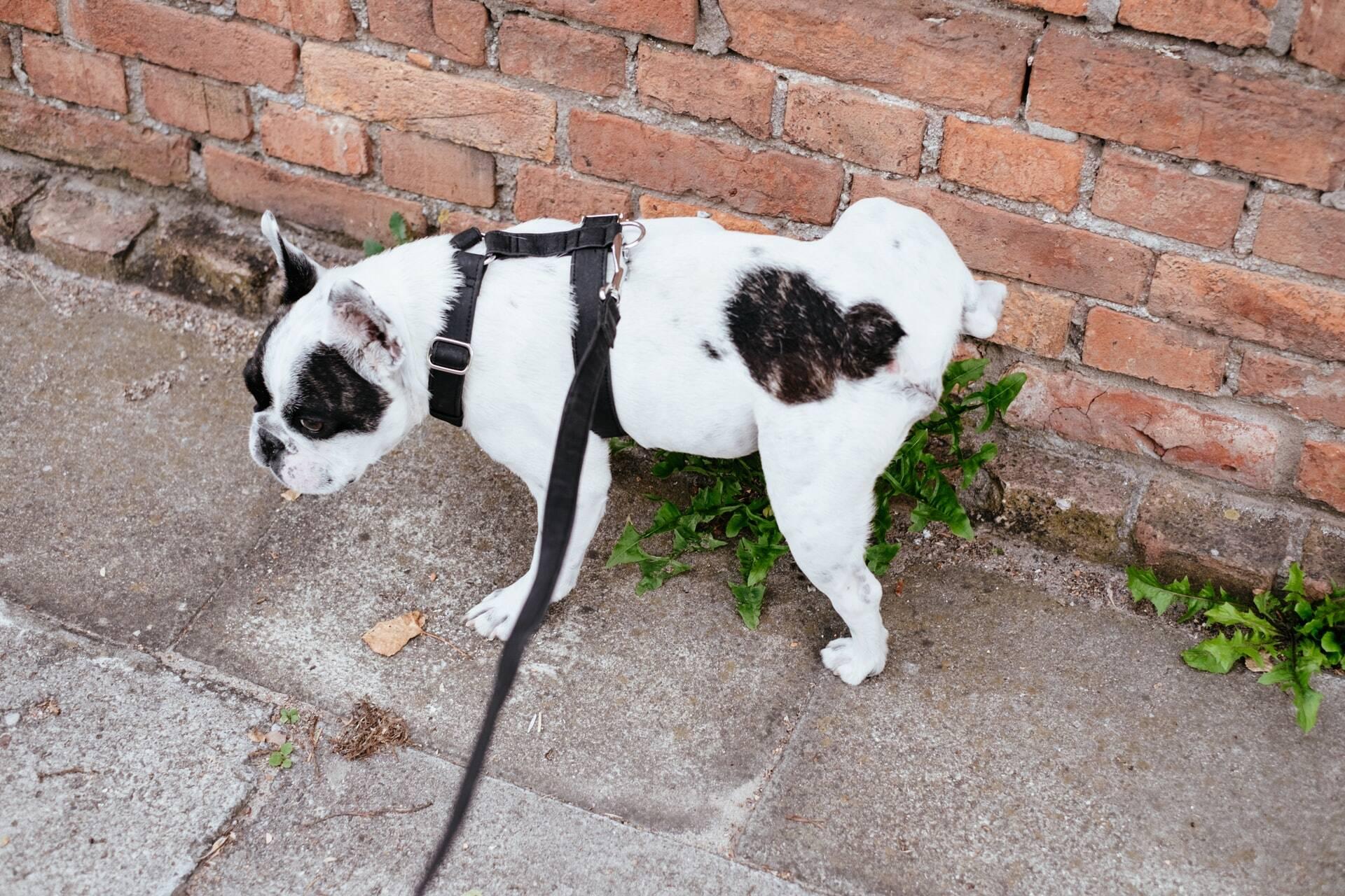 Seu cão está com incontinência urinária? Saiba o que fazer