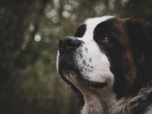 10 raças calmas para quem quer ter um cão sem incomodar os vizinhos