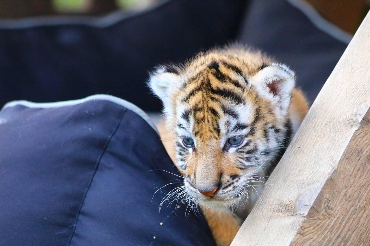 Casal compra gato pela internet e recebe filhote de tigre