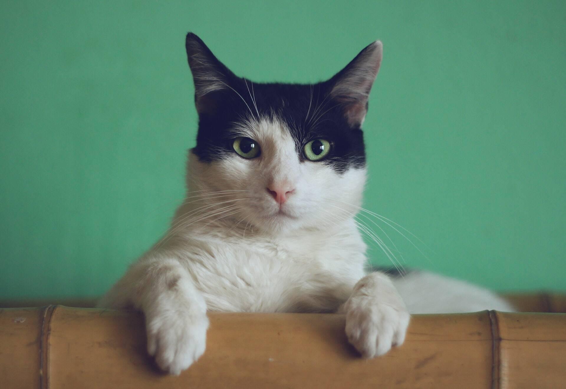Saiba como identificar e proteger seu gato contra 7 doenças mortais