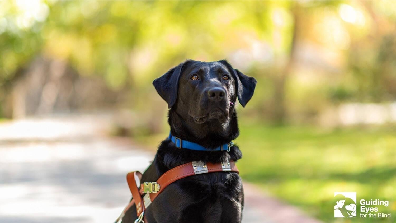 Em plena pandemia, cães-guia embarcam em viagem para concluir treinamento