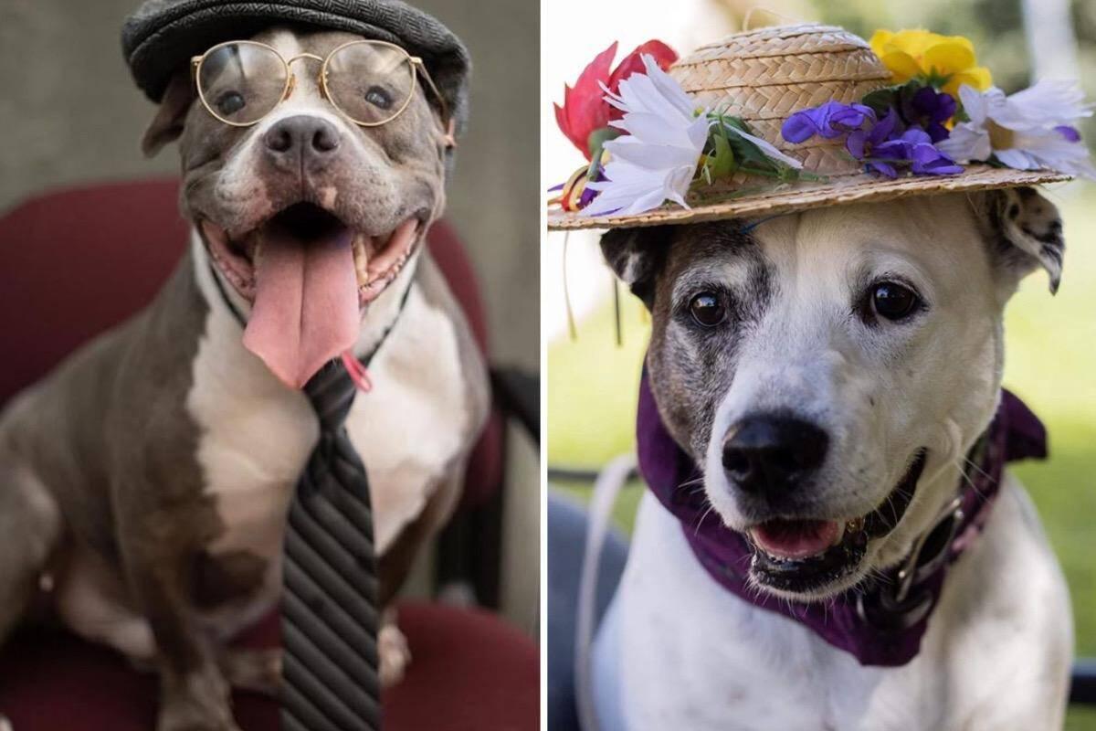 Imagens fofas: fantasiados de humanos, cães tentam conquistar nova família