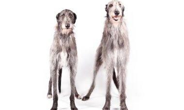 Conheça o galgo escocês, raça da cadela que ganhou o mais importante prêmio canino dos EUA