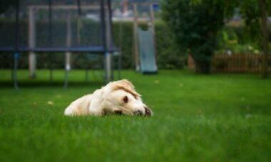 Saiba o que fazer para que o seu cão pare de comer grama