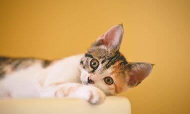 Saiba como diagnosticar e tratar um gato com asma
