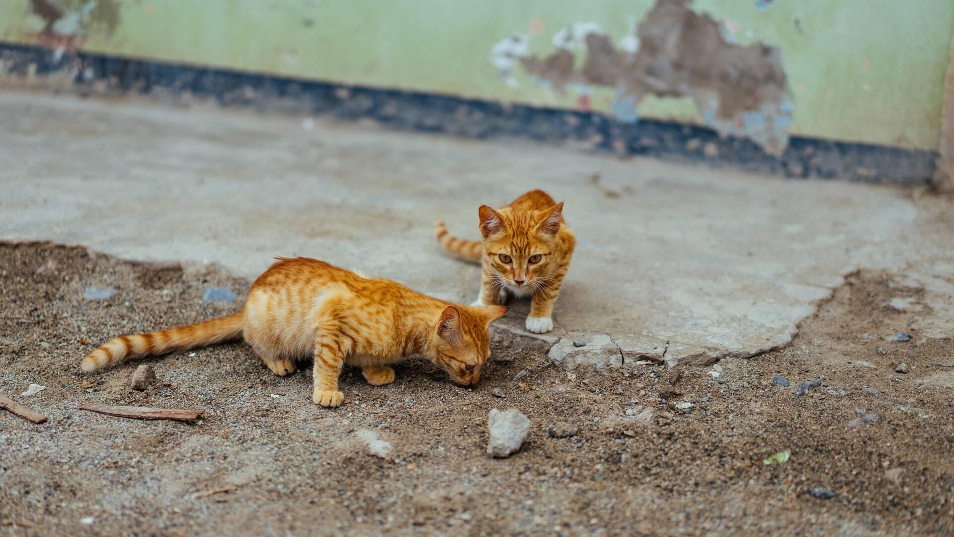Como saber se os gatos estão brincando ou brigando