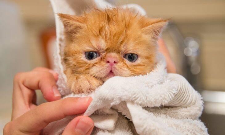 Tudo o que você precisa saber antes de trazer um gato persa pra casa