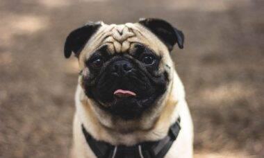 Proteja o seu cão contra a leishmaniose visceral, doença comum no verão
