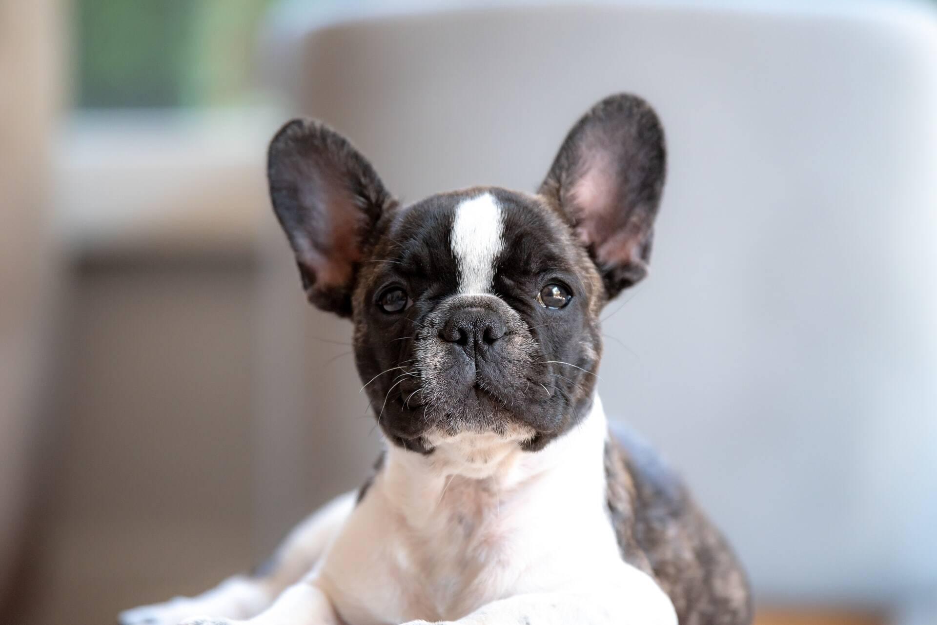 Gosta de cães obedientes? Então evite essas dez raças