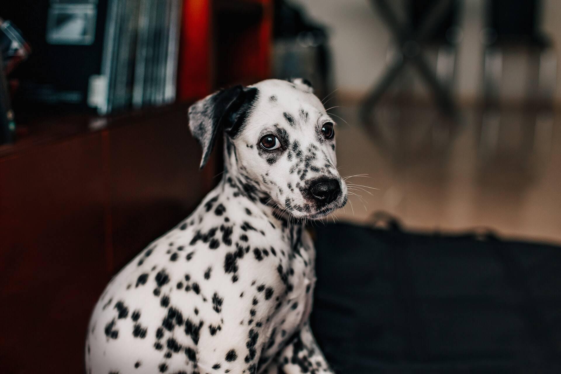 Cães são domesticados há pelo menos 7.500 anos na Croácia