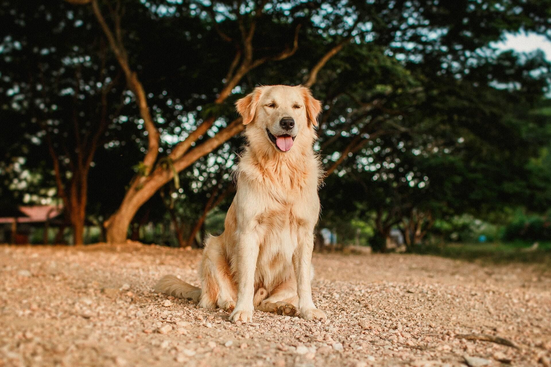 Deixado em hotel, cão foge e caminha 100 km para voltar aos donos