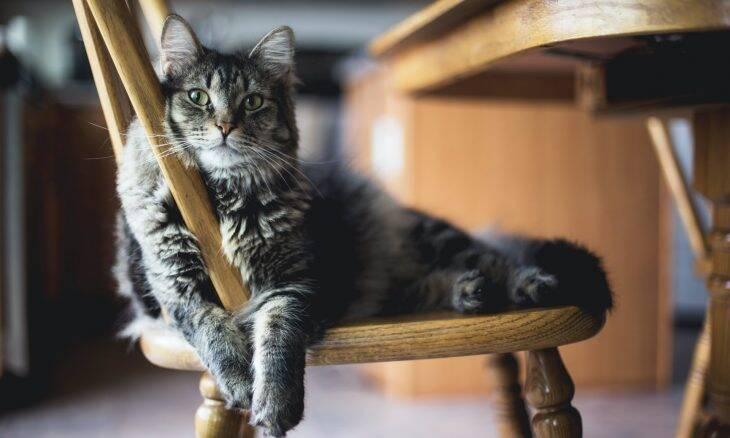 Gatos podem ser portadores assintomáticos de Covid-19, indica estudo