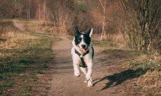Tratamento com células-tronco faz cadela com displasia voltar a correr