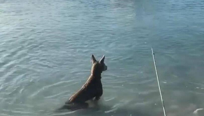 Vídeo: cão pula na água para salvar dono de ataque de tubarão