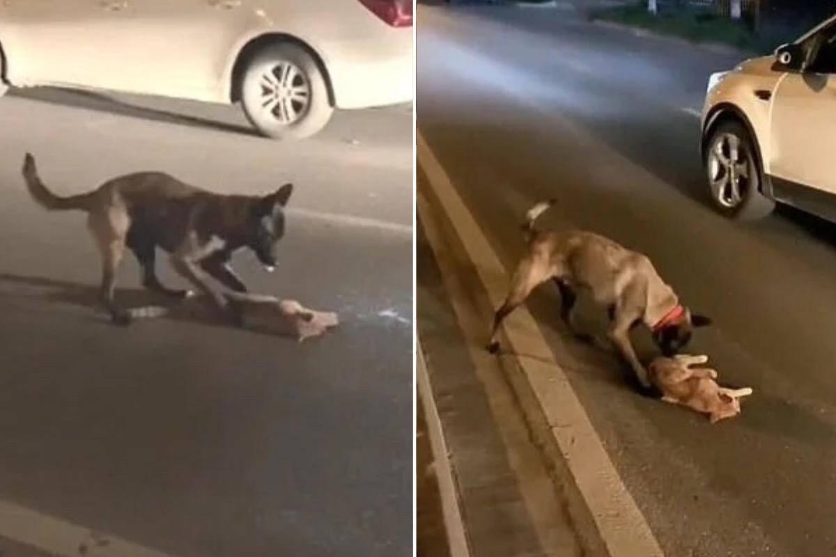 Vídeo comovente: cão tenta acordar gato morto por atropelamento