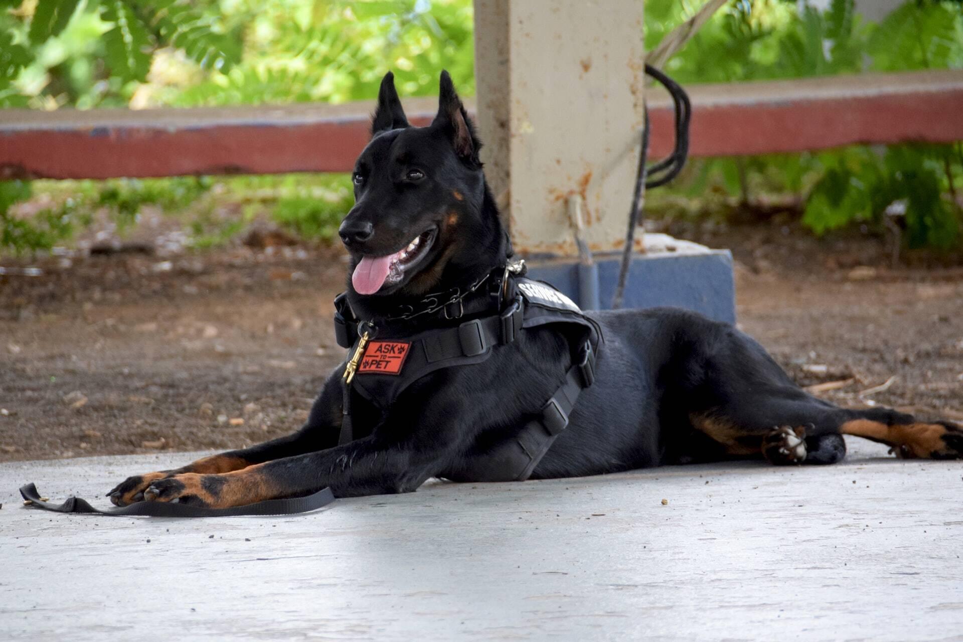 Homem é preso após esfaquear cão policial com machete