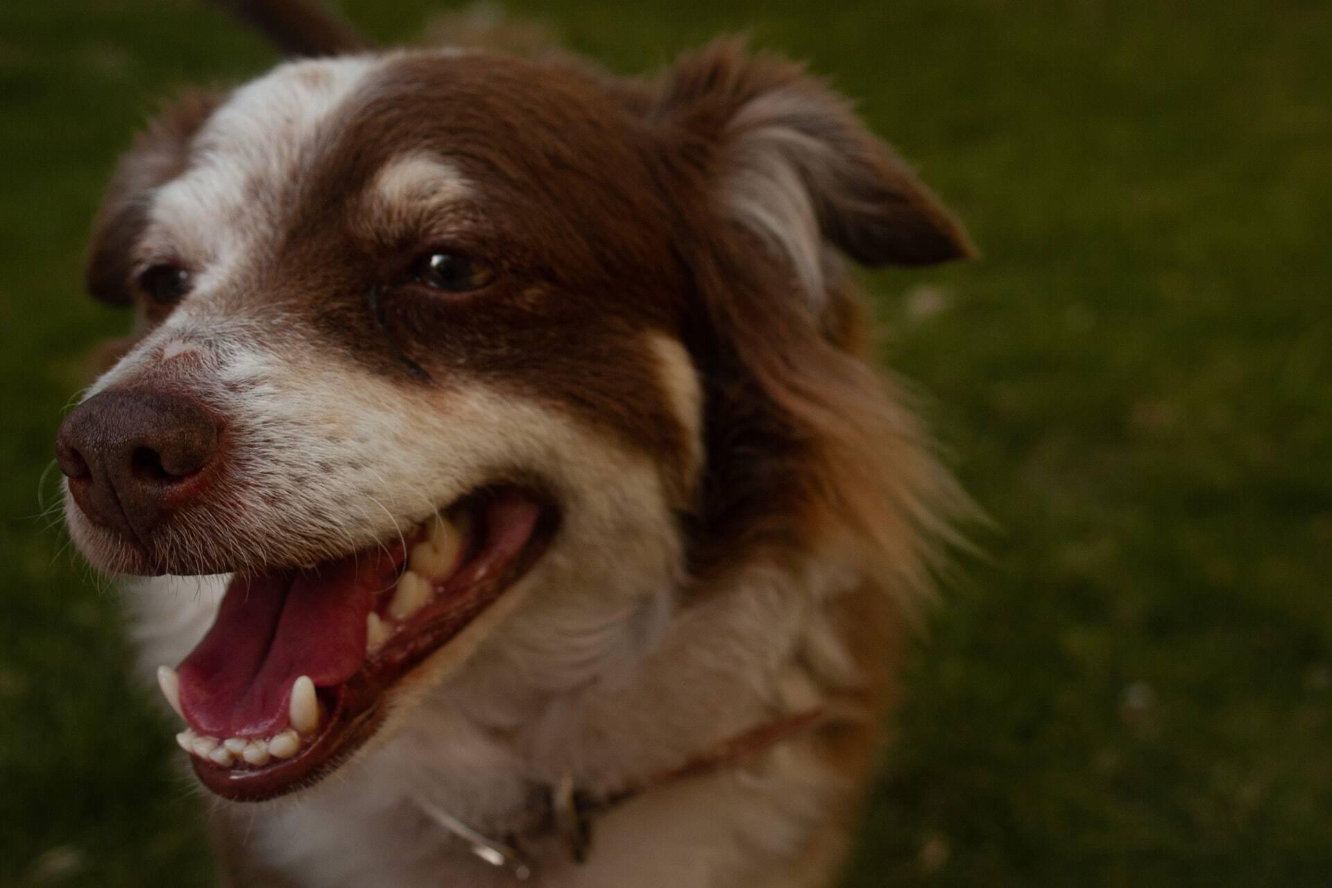 Saúde bucal: Aprenda a cuidar dos dentes do seu cão e evite uma série de doenças