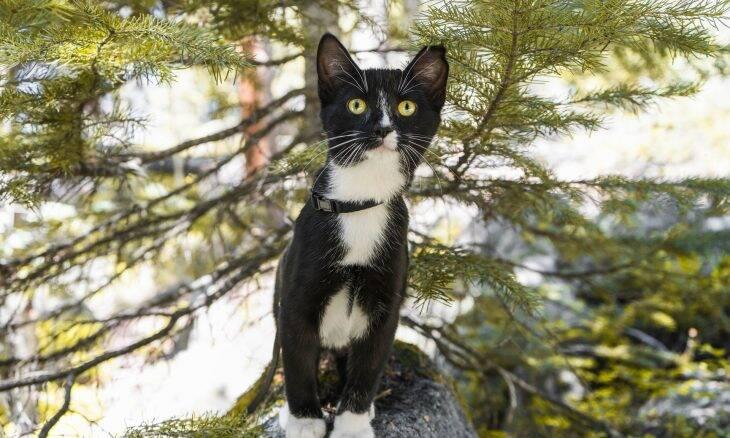 Gatos se recuperam rapidamente da Covid, e os cientistas querem saber como