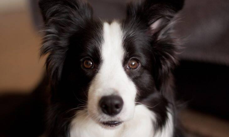 Conheça as dez raças de cães mais obedientes