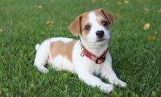 Procura um cão de companhia pequeno? Vejas as 15 melhores raças