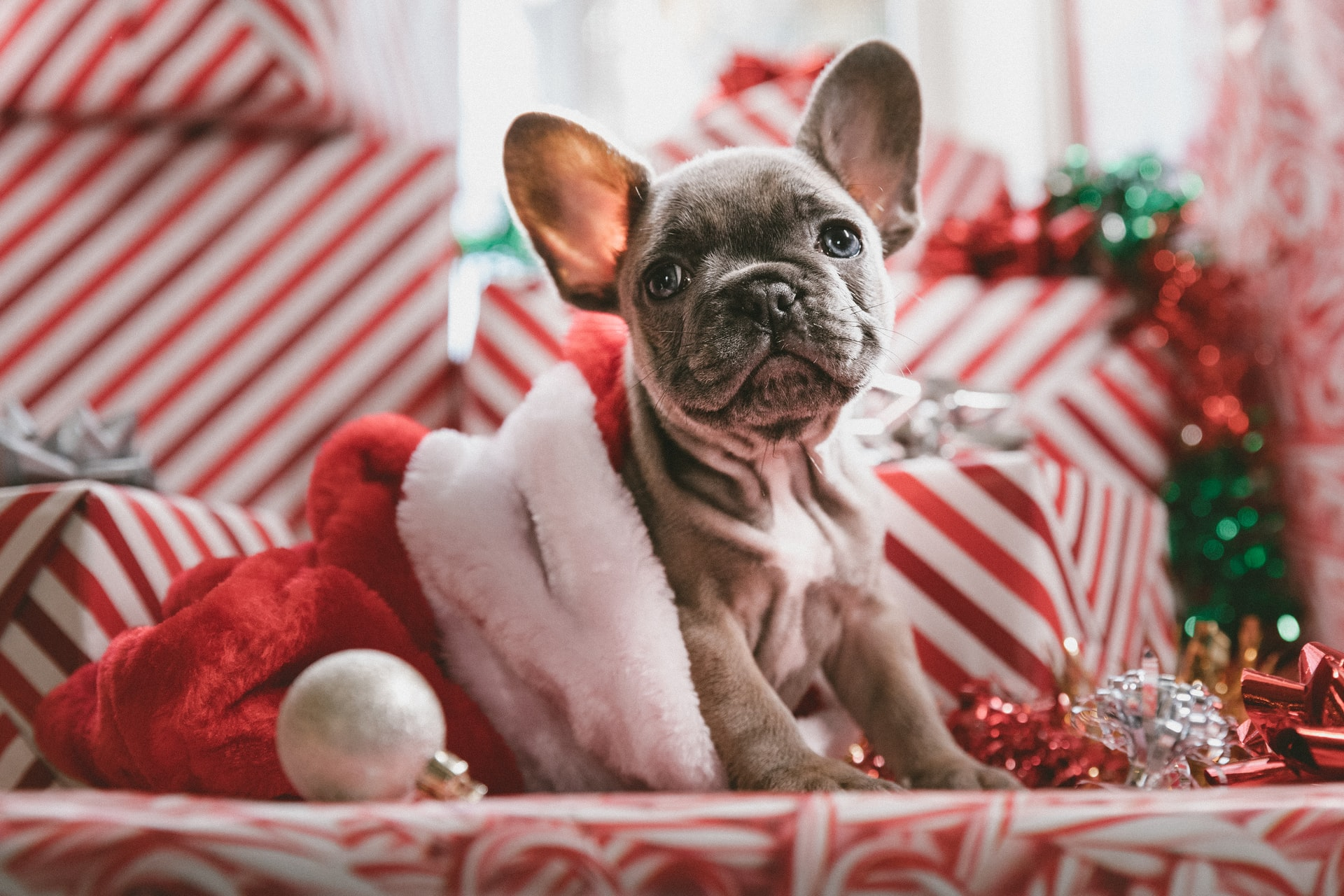 Pensa em dar um pet de presente no Natal? Pense de novo, diz veterinária