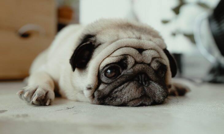 Cães braquicefálicos como pugs e buldogues lideram casos de abandono no Reino Unido