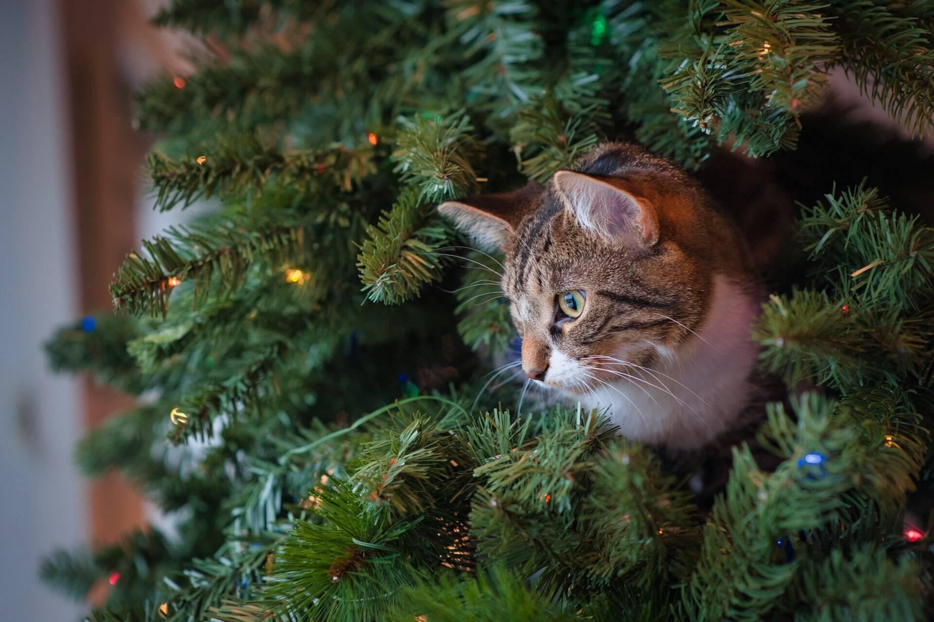 Gato come decoração de Natal, e dona faz vaquinha para a cirurgia