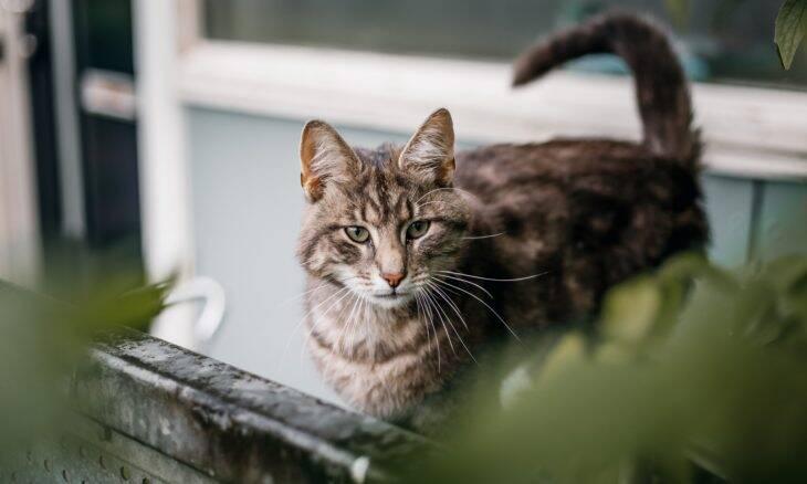Saiba interpretar as mensagens que seu gato emite pelo rabo