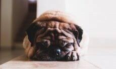 10 mitos e verdades sobre verme no coração, doença que pode matar seu cão