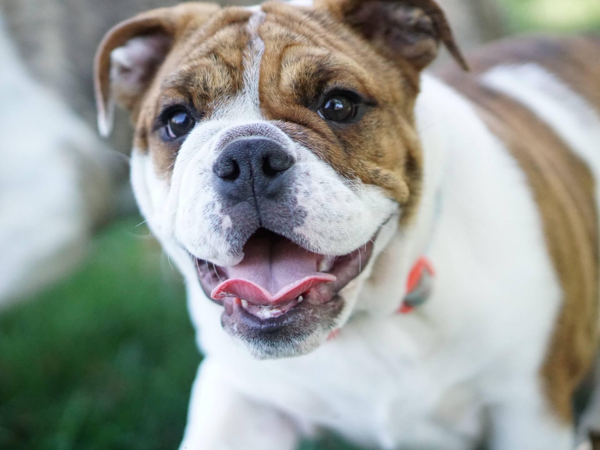 """Cão abandonado que só """"entendia"""" alemão tem aulas de inglês para ser adotado"""