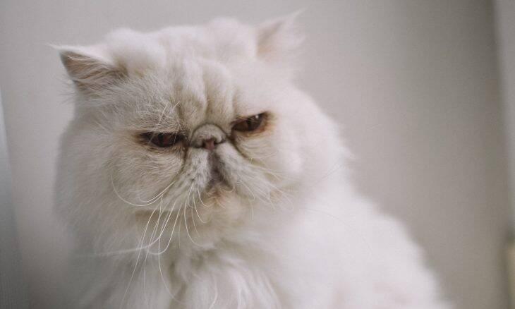 Conheça as 10 raças de gatos mais populares e veja qual é a melhor pra você