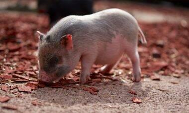 Tudo o que você precisa saber para ter um porco de estimação