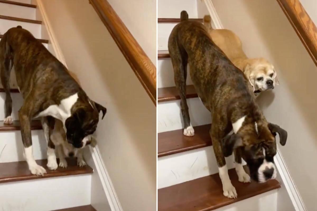 Cachorro ajuda filhote cego a descer escada e protagoniza o vídeo mais fofo que você vai ver hoje