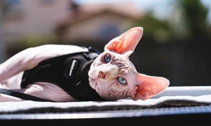 Tudo o que você precisa saber antes de levar um gato sphynx pra casa