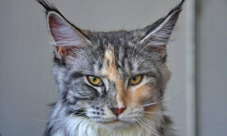 Confira 5 curiosidades sobre os gatos da raça maine coon