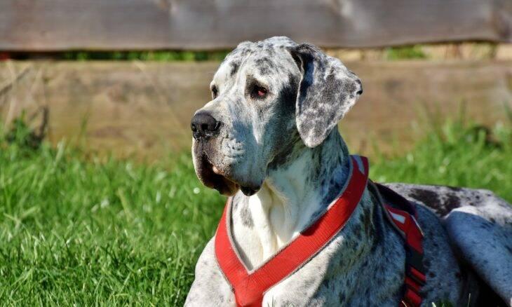 10 fotos mostram que cães da raça dogue alemão (great dane) não têm noção do próprio tamanho